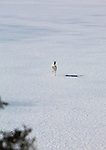 Whitetail doe running across a frozen lake in Montana
