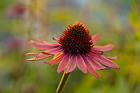 Echinacea 'Hot Lava'. Deep orange red petals with even deeper red cones.