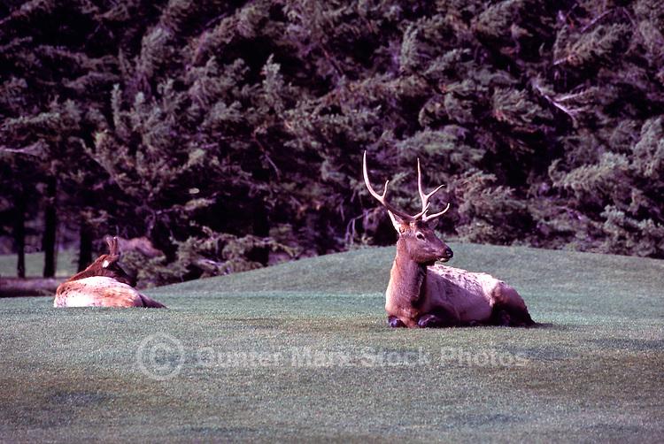 Banff National Park, Canadian Rockies, AB, Alberta, Canada - Young Bull Elk, Wapiti (Cervus canadensis) regurgitating on Banff Springs Golf Course
