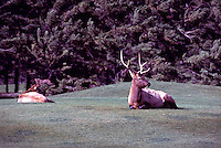 Banff National Park, Canadian Rockies, AB, Alberta, Canada - Young Bull Elk, Wapiti (Cervus canadensis) regurgitating on Banff Springs Golf Course