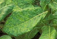 Nicotiana tobacco mosaic virus closeup of leaf