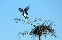 Osprey flying from nest on Richmond Mill Lake, Laurel Hill, NC.