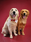Two Golden Retrievers sitting side by side and looking at the camera. Isolated on red background. Brody and China - Gray Valley Kennels - Toronto.
