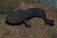 Froschdorsch, Frosch-Dorsch, Raniceps raninus, Tadpole fish