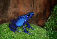 Cobalt Blue Poison Dart Frog (Dendrobates azureus) captive,  native to South America.