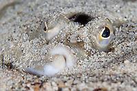 European plaice, Pleuronectes platessa.Moere coastline, Norway