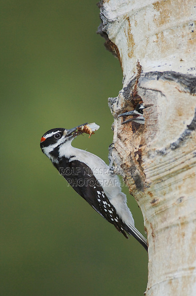 Hairy Woodpecker, Picoides villosus,adult male with prey feeding young at nesting cavity in aspen tree,Rocky Mountain National Park, Colorado, USA