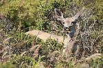 Point Reyes National Seashore, California; a Columbian black-tailed deer (Odocoileus hemionus columbianus) walking through the brush near the path leading to Abbotts Lagoon