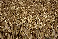 Calvatone, Cremona, IRIS Bio - cooperativa per l'agricoltura biologica e l'allevamento di animali con metodi naturali. Campo di grano tenero.<br /> Calvatone, Cremona, IRIS Bio - cooperative for organic farming and the breeding of animals with natural methods. Common wheat cultivation.