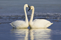 Pair of Tundra Swans preening each other