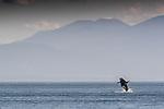 Orca (Orcinus orca), San Juan Islands, Puget Sound, Washington, USA