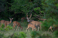Chital Deer, also called Spotted Deer, Yala National Park, Sri Lanka