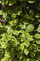 Hydrangea anomala subsp. petiolaris 'Mirranda' variegated climbing hydrangea foliage