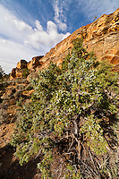 Juniper tree in a remote canyon in the Bighorn Basin