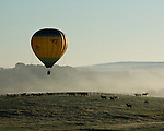 A balloon soars over a field in the dawn mist, first attracting then frightening the horses there.  At the annual Winchester Balloon Festival, Long Branch Farm, Winchester, Virginia, USA.  © RickCollier.com.