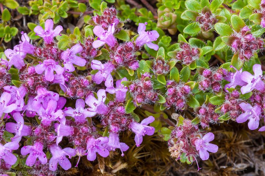 Wild Thyme {Thymus serpyllum} Isle of Mull, Scotland, UK. June.
