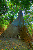 Huge kapok tree    Amazon River, Brazil  Amazon Basin World Heritage Site  Ceiba pentandra  Amazonas Region