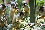 Foto: VidiPhoto<br /> <br /> APELDOORN - Groot feest voor de apen van Apenheul in Apeldoorn dinsdag. Het park bestaat precies 45 jaar en om die reden werden de doodshoofdaapjes en halfapen getracteerd op gezonde taarten. Weinig bananen,  waar veel suikers in zitten, maar wel andere vruchten en veel verse groenten. Apenheul is bovendien door het publiek uitgeroepen tot het leukste uitje van 2016. Het dierenpark werd in 1971 opgericht door Wim Mager en hanteert een voor Nederland uniek concept, waarbij er interactie tussen mens en dier mogelijk. Veel apen lopen los tussen de bezoekers. Dat is ook de reden dat bezoekers worden gewaarschuwd tassen en zakken goed gesloten te houden, omdat de dieren er anders met de spullen de gasten vandoor gaan.