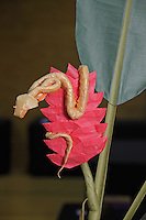 Eyelash pitviper snake on a heliconia flower origami designed and folded by Bernie Peyton, California, USA.