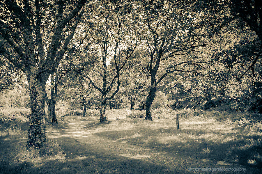 Glendalough, Co. Wicklow, Ireland: A sepia toned image of a picturesque path through the trees in the forest park high in th ewicklow mountains