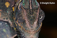 CH51-717z Female Veiled Chameleon, note eye rotation, Chamaeleo calyptratus