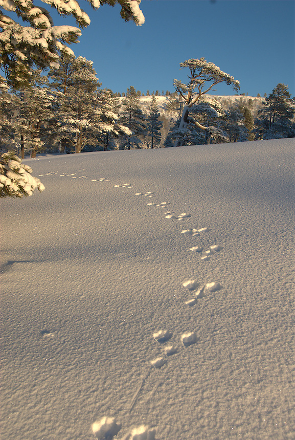 Tracks in snow,Norway Landscape, landskap,