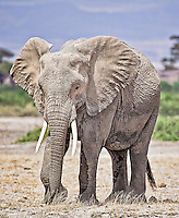 African elephant walking across the plains of Amboseli National Park, Kenya, Africa (photo by Wildlife Photographer Matt Considine)