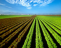Agriculture - Red & Green Leaf lettuce field / Salinas, California, USA.