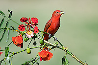 Summer Tanager with Royal Poinciana blossoms
