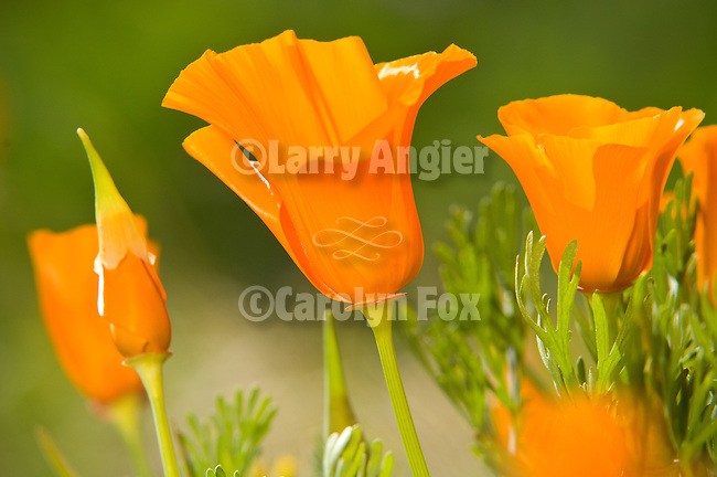Golden poppy flowers in spring (Eschscholtzia california) near the Antelope Valley State Poppy Reserve near Lancaster, Calif.