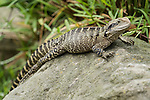 Sydney, New South Wales, Australia; Eastern Water Dragon (Physignathus lesueurii lesueurii), also known as the Australian water dragon