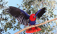 Female Eclectus Parrot (Eclectus roratus) on branch with opened wings, Captivity.