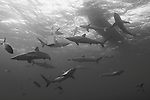 Gardens of the Queen, Cuba; a dozen or more Silky Sharks swimming below the dive boat, attracted to a single fish place in a steel box hung in the water column