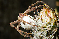 369500005 a wild female nursery web spider fam pisauridae protecting her egg sac in the texas hill country texas