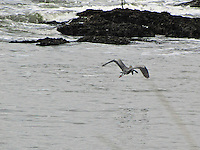 A great blue heron flies off with an eel, soon to be its morning meal.