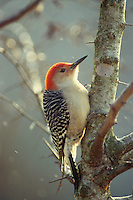 Red bellied woodpecker, Melanerpes carolinus, in snow, Midwest USA