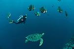 Green sea turtle (Chelonia mydas) with schooling batfish (Platax orbicularis) and diver.