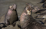 Northern Elephant Seals (Mirounga angustirostris).  An old bull bugles a warning to a younger rival who is moving in on his harem. Helpless pups like the one caught between these two bulls can be crushed and killed during such confrontations. Piedras Blancas State Marine Reserve. Near Cambria, San Luis Obispo Co., Calif.