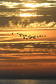 Oystercatchers at sunset - Haematopus ostralegus