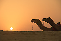 Silhouette of two camels at sunset in the desert of Jaisalmer, Rajasthan, India.