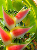 Heliconia, Lobster Claw<br />