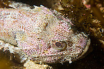 Catalina Island, Channel Islands, California; California Scorpionfish (Scorpaena guttata) lies motionless, attempting to camouflage itself against the rocky reef , Copyright © Matthew Meier, matthewmeierphoto.com All Rights Reserved