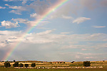 Springbok, Antidorcas marsupialis, herd in landscape with rainbow, Kgalagadi Transfrontier Park, Northern Cape, South Africa