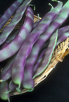 Runner Bean 'Purple King', beautiful vegetable in purple and green striped colors, picked in basket, closeup macro