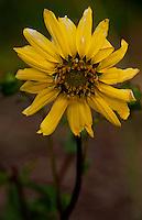 Sunflower, Vero Beach, Florida, US