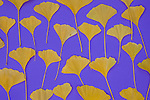 Autumnal ginkgo leaves on a purple background.