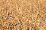 A cheetah hides in the grass, Phinda Resource Reserve, South Africa