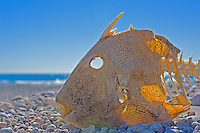Dead and dried Finescale Triggerfish on beach (Balistes polylepis), Baja California Sur, Mexico