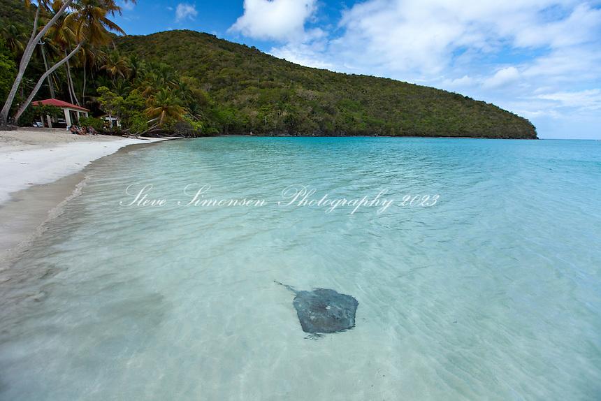 Southern Stingray at Maho Beach<br /> Virgin Islands National Park<br /> St. John<br /> U.S. Virgin Islands
