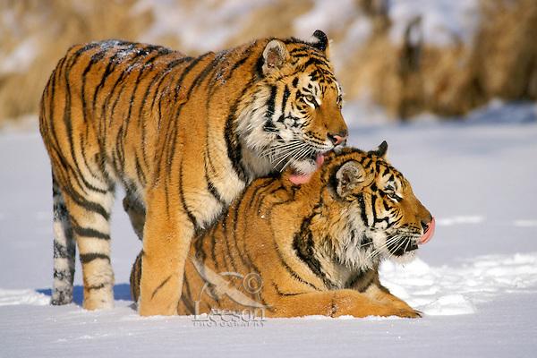 Siberian Tigers (Panthera tigris altaica), Endangered Species.  Winter.